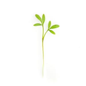 Crescione