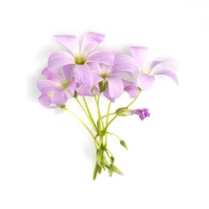 Fiore Oxalis